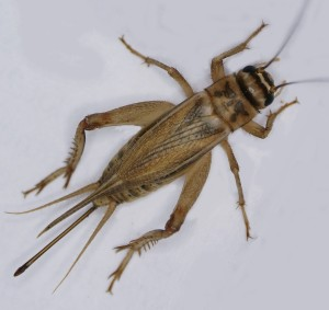 Acheta domesticus or the house cricket, the fifth ingredient in Exo bars