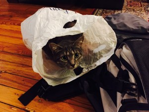 Percy endlessly entertained by plastic bags